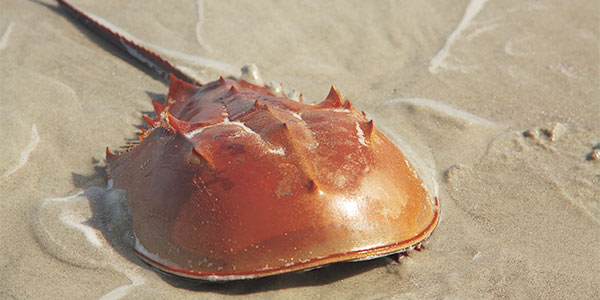 invertebrate_horseshoe-crab_600x300