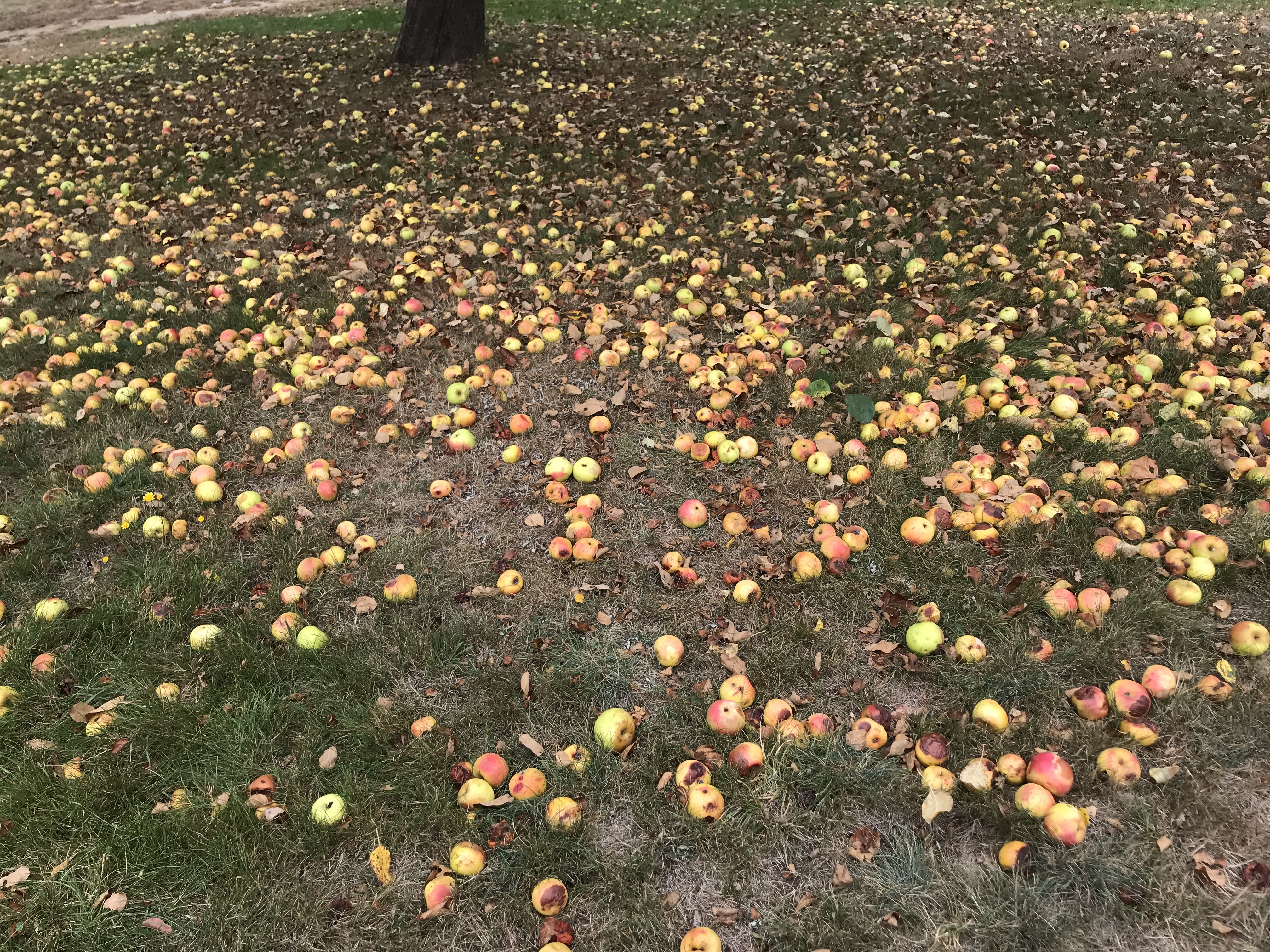 Apples ground